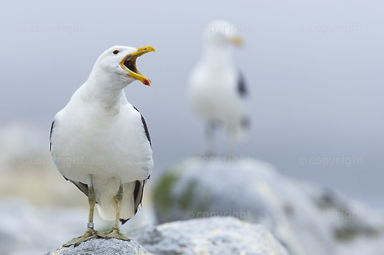 Kelp Gull Calling