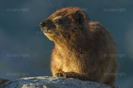 Rock Hyrax sunning on the rocks