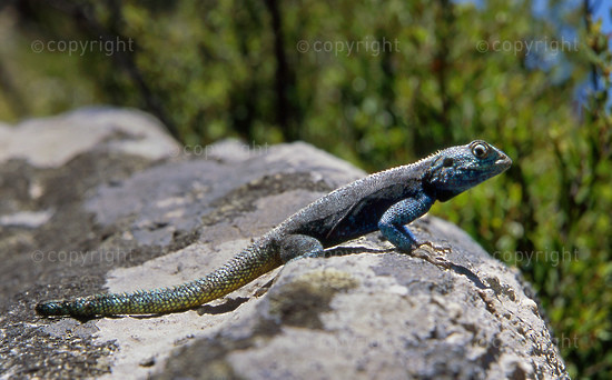 Agama Lizard on a rock, Kromrivier, Cederberg, Western Cape