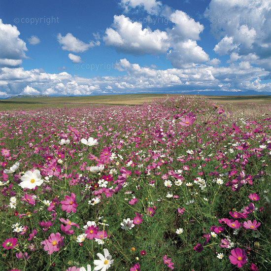 Cosmos Blooms, Free State