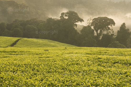 Rwanda, Nyungwe forest, tea  plantations  fringe the montane rainforest