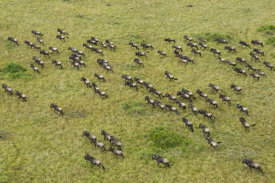 Blue wildebeest (Connochaetes taurinus)  migration seen from a hot-air balloon, Maasai Mara National Reserve, Kenya