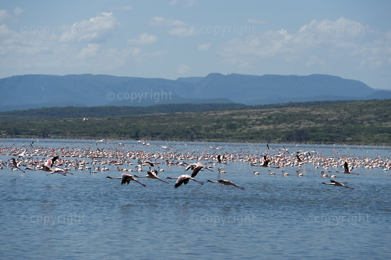 Lesser Flamingos (Phoenicopterus minor) in Lake Bogoria National Reserve, Rift Valley, Kenya