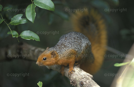 Red-bellied coast squirrel, Shimba Hills National Reserve, Kenya