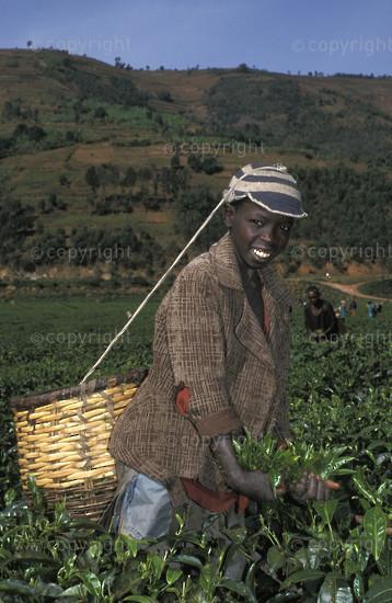 Tea picker in a tea plantation, Byumba, Rwanda