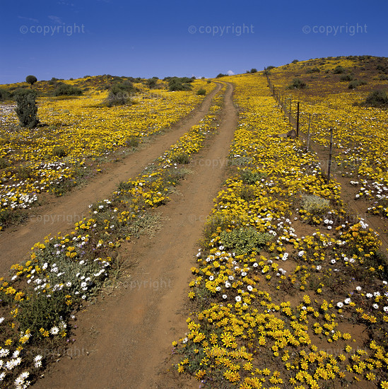 Flower road in Namaqualand